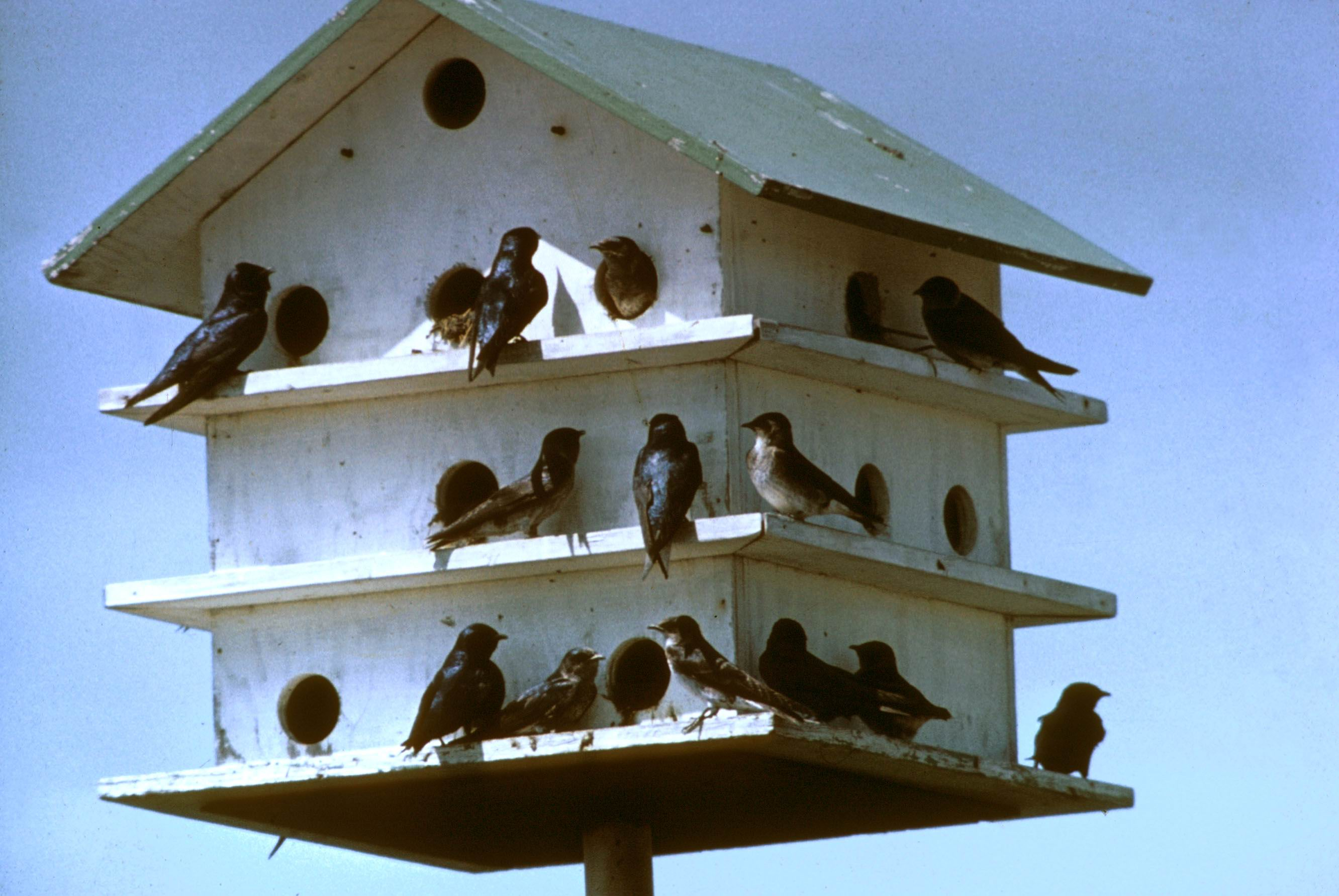 Get ready for the return of purple martins alamo springs for Building a quail house